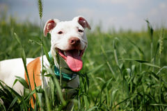 Pit bull Stock Photo