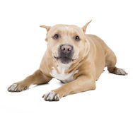 Pit bull. On a white background in studio Royalty Free Stock Photography