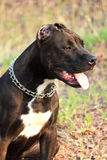 Pit bull. Young female pit bull in a metal collar Royalty Free Stock Photography