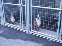 Pit Bulls in Animal Shelter Stock Photo
