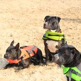 Pit bulls at the beach. 3 pit bulls with there life jacket are having lots of fun at the beach Royalty Free Stock Images