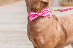 Pit Bulls and Bow Ties stock image