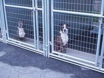 Pit Bulls dans le refuge pour animaux Photo stock