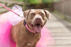 Pit Bulls and Tu Tus. Miss Dolly the rescue pit bull proudly strutting her beautiful pink tu tu that matches her gorgeous pink polka dot collar Royalty Free Stock Photography