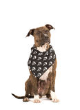 Pit bullterier isolated on white. Pit bull terrier  isolated on white in black bandana with skulls Stock Photos