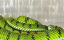 Pit snake Stock Photo