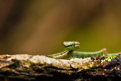 Pit Viper stock photography