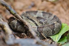 Pit Viper. Tenorio Volcano National Park, Costa Rica royalty free stock image