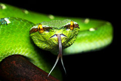 Pit viper. Waglery pit viper closed up image macro lens   eyes snake Stock Image