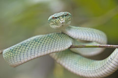Pit Viper Royalty Free Stock Images
