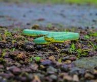 Pit Viper de bambú Fotografía de archivo