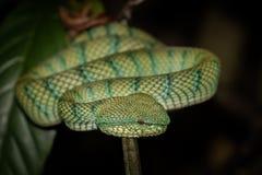 Pit Viper i den Bako nationalparken Borneo, Malaysia Arkivfoton