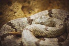 Pit Viper Snake Malayan na areia fotografia de stock