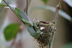 Pit Viper Trimeresurus verde para arriba después de comió por completo pequeños pájaros del monarca negro-naped fotos de archivo libres de regalías