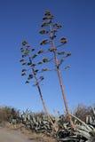 Pita o agave Fotografie Stock Libere da Diritti