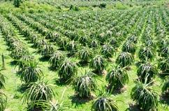 Pitahaya种植园,龙果子,看法从上面 库存照片