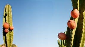 pitahaya плодоовощ Стоковые Изображения RF