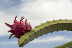 Pitahaya at the end of branch Stock Images