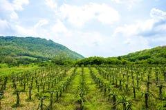 Pitahaya ou ferme de fruit du dragon entourée par des montagnes un jour ensoleillé Image stock