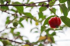 Pitanga ( Eugenia uniflora) , Surinam körsbär, brasiliansk körsbär, Cayenne körsbär Viktig smak och rikt i kalcier royaltyfria foton