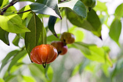 Pitanga or Surinam cherry, originating in Brazil Stock Photo