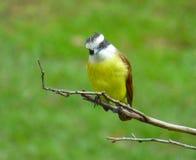 Pitangus-sulphuratus Vogel, der einer Niederlassung anhaftet Lizenzfreie Stockfotos
