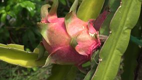 """Pitaya Or Dragon Fruit. These fruits are commonly known in English as """"dragon fruit"""", reflecting its vernacular Asian names stock video"""