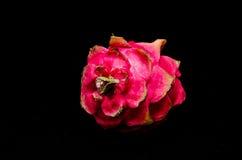 Pitaya or Dragon Fruit Royalty Free Stock Photography
