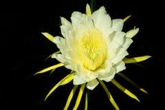 Pitaya kwiat lub smok owoc zdjęcia stock