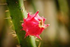 Pitaya, pitahaya плодоовощ вида кактуса Стоковые Фотографии RF