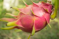 Dragon fruit. A pitaya or pitahaya is the fruit of several cactus species. Pitaya usually refers to fruit of the genus Stenocereus, while pitahaya or dragon Royalty Free Stock Photos