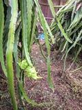Pitaya roślina Obrazy Royalty Free