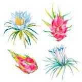 Pitaya Vector Geïsoleerdel illustratie Tropische bloempitaya Exotisch Fruit Royalty-vrije Stock Fotografie