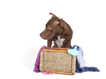 Pitb bull in a basket of dirty laundry Stock Photo