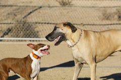 Pitbull小狗和一只丹麦种大狗 库存图片