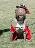 Pitbull одетьло вверх на Halloween Стоковое фото RF