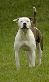 Pitbull Photo libre de droits
