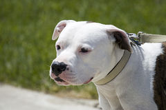 Pitbull. A pitbull on a leash royalty free stock photos