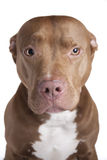 Pitbull Royalty Free Stock Image
