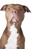 Pitbull Fotografia Stock Libera da Diritti