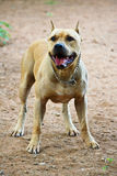 Pitbull. American pitbull fighting breed, American Staffordshire Terriers Royalty Free Stock Image