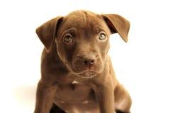 Free Pitbull Stock Images - 53261954
