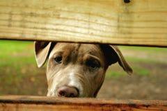 pitbull Стоковое фото RF