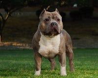 Pitbull Foto de archivo libre de regalías