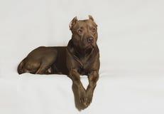 Pitbull americano fotografia stock