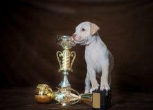 Pitbull americano Terrier del pequeño perrito Fotografía de archivo libre de regalías