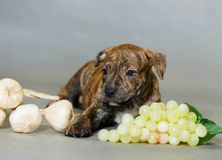Pitbull americano Terrier del pequeño perrito Imagenes de archivo