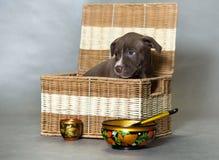 Pitbull americano Terrier do cachorrinho pequeno Imagem de Stock Royalty Free
