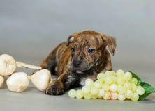 Pitbull americano Terrier do cachorrinho pequeno Imagens de Stock