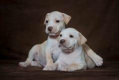 Pitbull americano Terrier do cachorrinho pequeno Fotos de Stock